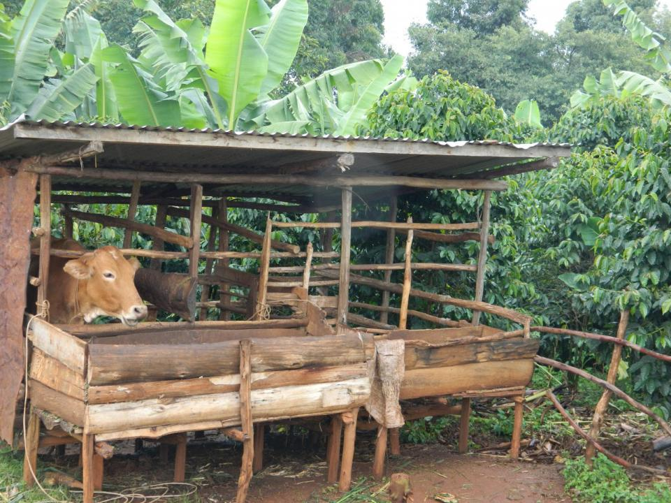 Feeding dairy animal using the experimental diets